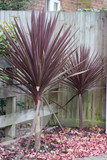 Cordyline australis 'Red Star' - 15 Gallon