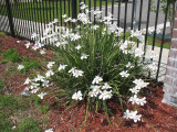 Dietes vegeta (D. grandiflora) White Africa Iris - 5 Gallon