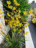 Anigozanthos 'Yellow Gem' Kangaroo Paw Yellow - 5 Gallon