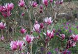 "Magnolia x soulangeana liliiflora purple - 24"" Box"
