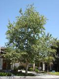 Platanus racemosa 'California Sycamore' - 15 Gallon