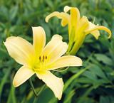 Hemerocallis 'Yellow' Daylily - 5 Gallon