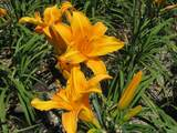 Hemerocallis 'Orange' Daylily - 5 Gallon