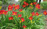 Hemerocallis 'Red' Daylily - 5 Gallon
