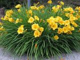 Hemerocallis 'Stella De Oro' Daylily - 5 Gallon