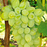 Grapes 'Thompson Seedless' (Vine Type) - 15 Gallon