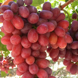 Grapes 'Crimson Seedless' (Vine Type) - 15 Gallon