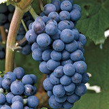 Grapes 'Concord Seedless' (Vine Type) - 15 Gallon