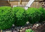 Japenese Boxwood 'Winter Gem' - 15 Gallon