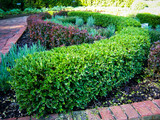 Japenese Boxwood 'Winter Gem' - 5 Gallon