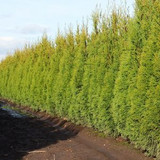 Thuja occidentalis ('Emerald Green')('Smaragd') - 15 Gallon