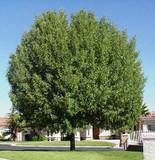 Modesto Ash  (Fraxinus velutina 'Modesto') - 15 Gallon Standard