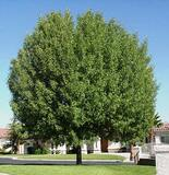 "Modesto Ash  (Fraxinus velutina 'Modesto') - 24"" Box Standard"