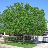 Fan Tex Ash  (Fraxinus velutina) - 15 Gallon Standard