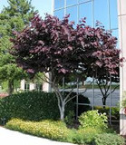 Cercis canadensis 'Forest Pansy' Eastern Redbud 'Forest Pansy' - 15 Gallon Standard