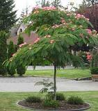 "Albizia julibrissin 'Mimosa Silk Tree' - 24"" Box Standard"