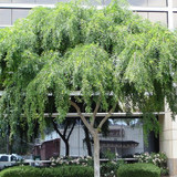 "Ulmus parvifolia 'Chinese Elm' - 24"" Box Standard"