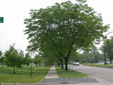 "Gleditsia triacanthos 'Honey Locust' - 24"" Box Standard"