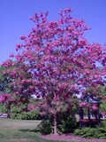 Robinia pseudoacacia 'Purple Robe' - 15 Gallon Standard