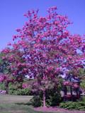"Robinia pseudoacacia 'Purple Robe' - 24"" Box Standard"