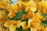 Bougainvillea 'California Gold' ('Sunset') Bougainvillea Gold (Vine Type) - 15 Gallon