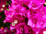 Bougainvillea 'Miami Pink' Bougainvillea Hot Pink (Vine Type) - 5 Gallon