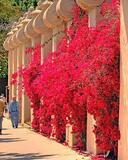 Bougainvillea 'San Diego Red' Bougainvillea Red (Vine Type) - 15 Gallon
