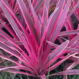 Cordyline 'Electric Pink' - 15 Gallon
