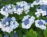 Hydrangea 'White Lacecap' - 5 Gallon