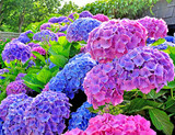 Hydrangea 'All Summer Beauty' - 5 Gallon
