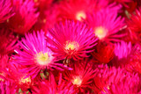 Iceplant Lampranthus 'Red Trailing' - Flat