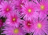 Iceplant Lampranthus 'Pink Trailing' - Flat