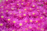 Iceplant Lampranthus 'Rose Pink' - Flat