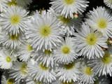 Iceplant Lampranthus 'White Trailing' - Flat