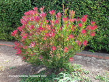 Leucadendron 'Summer Red' - 5 Gallon
