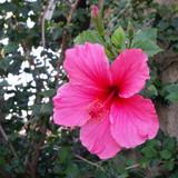 Hibiscus 'Lipstick Pink' - 5 Gallon
