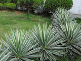 Agave 'Caribbean Agave' Angustifolia Variegated - 5 Gallon