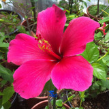 Hibiscus 'Lipstick Pink' - 15 Gallon