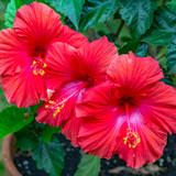 Hibiscus Red - 15 Gallon