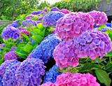 Hydrangea 'All Summer Beauty' - 15 Gallon