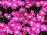 Drosanthemujm speciosum 'Rosea Pink Iceplant' - Flat