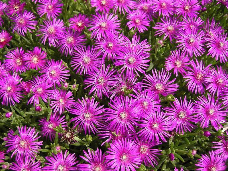 Drosanthemum Hispidum Rosea Purple Iceplant Flat