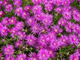 Drosanthemum hispidum 'Rosea Purple Iceplant' - Flat