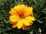 Gazania 'Sunburst Orange' - Flat