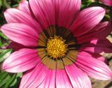 Gazania 'Pink' - Flat