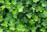 Hedera helix 'English Ivy' - Flat