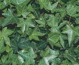 Hedera helix 'Hahn's Ivy' - Flat
