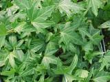 Hedera helix 'Needlepoint Ivy' - Flat