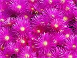 Lampranthus productus 'Productus Purple Iceplant' - Flat
