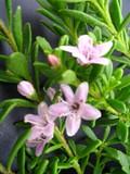 Myoporum Parvifolium 'Pink' - Flat